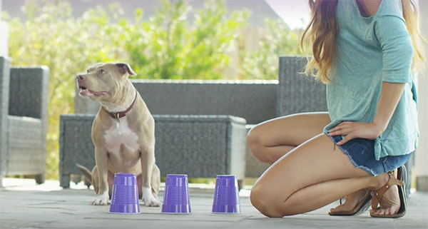 pit bull dog playing a training game